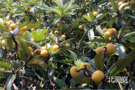 苏州东山枇杷图片