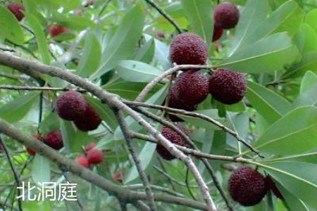 苏州东山杨梅图片